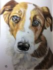 Bandit (Watercolour and pastels)